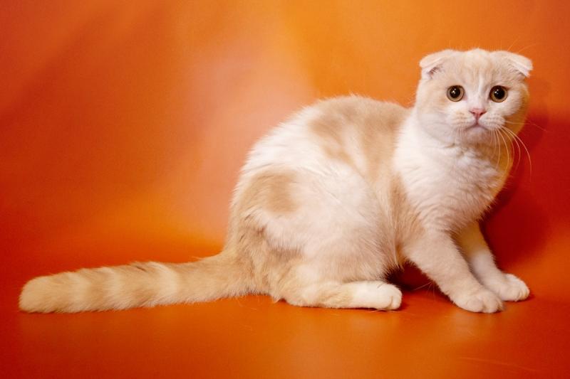Породистые до мозга костей шотландские котята